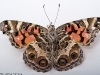 American (Painted) Lady